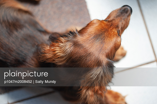 Red dachshund puppy lying on floor taken from above - p1047m2008452 by Sally Mundy