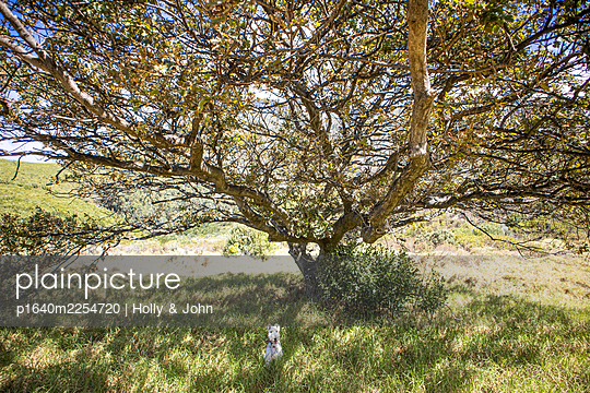 White dog in the shade of a tree - p1640m2254720 by Holly & John