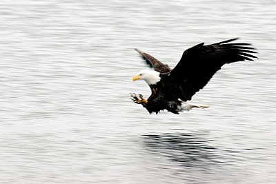 Bald Eagle Fishing - p4342912f by Donna Eaton