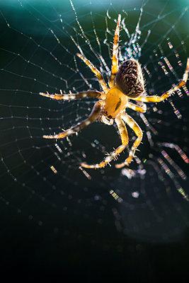 Garden spider - p739m1057781 by Baertels