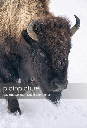 Bison in sw - p378m2235682 by David Lichtneker