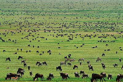 Wildebeests grazing, Connochaetes gnu, Serengeti National Park, Tanzania - p1100m875238 by Frans Lanting