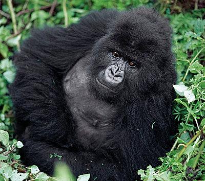 Great ape - p6520743 by Nigel Pavitt