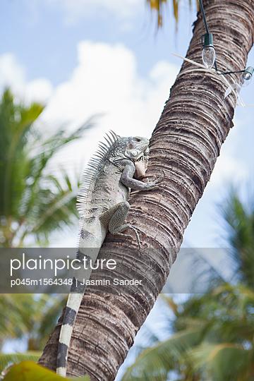 Leguan auf einer Palme - p045m1564348 von Jasmin Sander