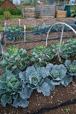 Cabbages growing in an allotment under netting - p1047m1055606 by Sally Mundy