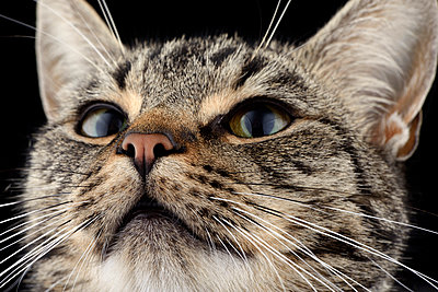 Portrait of tabby cat, Felis silvestris catus - p300m950520f by Mark Johnson