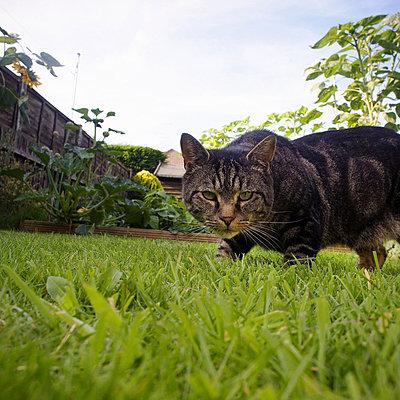 Cat prowling in garden - p92411836f by Gary John Norman