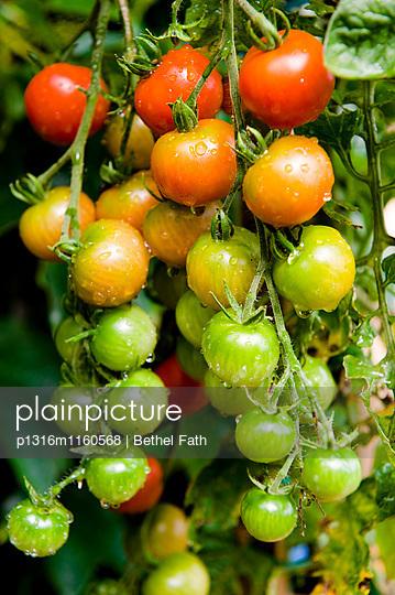 Strauchtomaten, Tomaten, Garten - p1316m1160568 von Bethel Fath