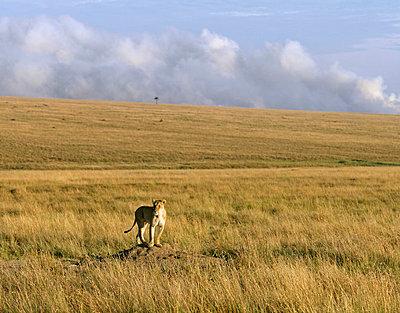 Lioness - p6520470 by Nigel Pavitt
