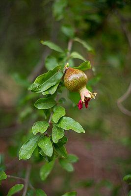 Granatapfel mit Blüte - p1059m1502057 von Philipp Reiss