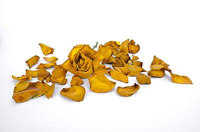 Dry rose - p1562m2254541 by chinch gryniewicz