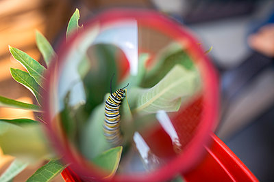 Close-up of caterpillar on leaf seen through magnifying glass - p1166m1508385 by Cavan Images