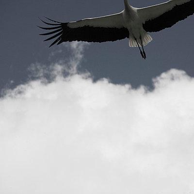 Storch im Flug Stroc - p4150712 von Tanja Luther