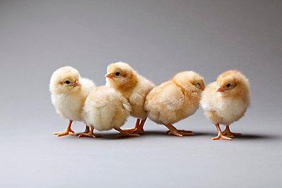 Group of poults - p8420145 by Renée Del Missier