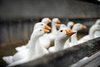 Geese behind wooden fence - p300m2206540 by Biederbick&Rumpf