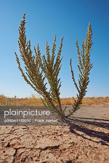 Einzelne Pflanze in der Wüste - p390m1159290 von Frank Herfort