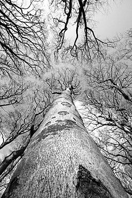 Bäume in Untersicht - p1121m904088 von Gail Symes