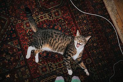 Cat on carpet yawning - p1184m1222310 by brabanski