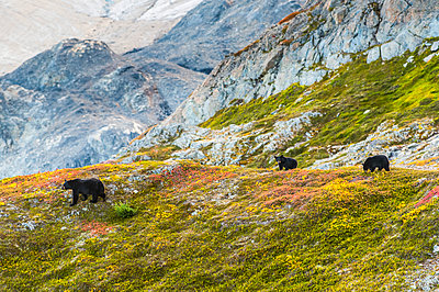 A mother Black bear (Ursus americanus) and her two cubs on a hillside with Exit Glacier in the background on a sunny fall day in Kenai Fiords National Park, South-central Alaska; Alaska, United States of America - p442m2091929 by Michael Jones