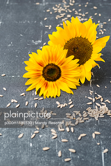 Two sunflowers and scattered sunflower seeds
