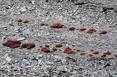 Heather Shrubs Flowering on Slate Waste Slope - p1072m993534 by chinch gryniewicz