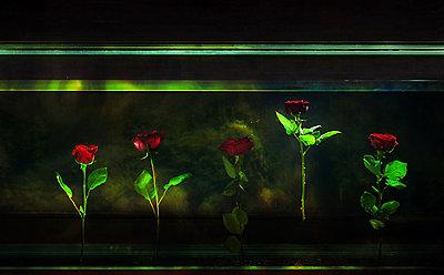 Rosen in einem dunklen Aquarium - p1577m2289480 von zhenikeyev