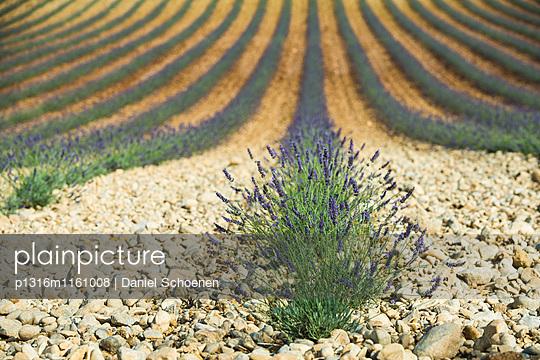 Lavendelfeld, bei Valensole, Plateau de Valensole, Alpes-de-Haute-Provence, Provence, Frankreich - p1316m1161008 von Daniel Schoenen