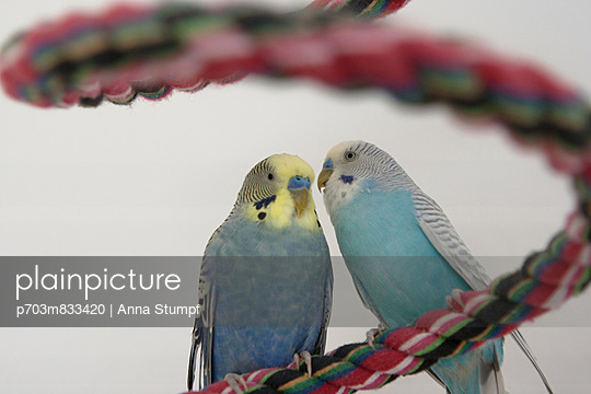 Budgies gossip - p703m833420 by Anna Stumpf