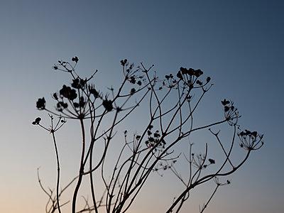 Vertrocknete Pflanzen im Sonnenuntergang - p1383m2026475 von Wolfgang Steiner
