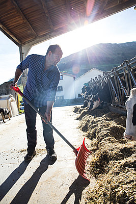 Farmer using a shovel to bring food closer to the cows on a farm - p300m1204495 by Andrés Benitez
