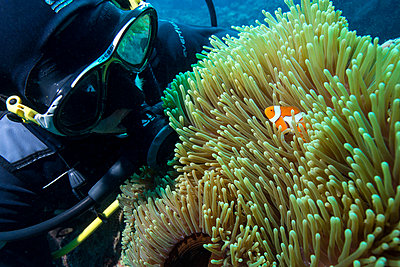 Scuba diver with False clown anenomefish  and anemone, Magnificent Sea Anemone , Cairns, Queensland, Australia, Pacific - p871m1017458 by Louise Murray