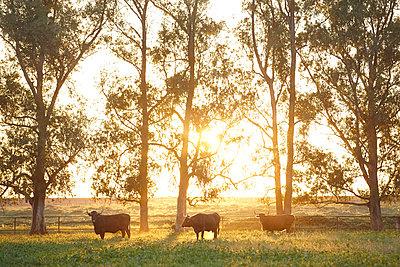 Sonnenuntergang und Stiere - p887m1124770 von Christian Kuhn