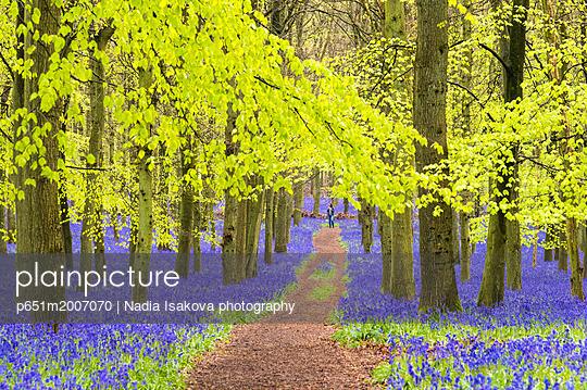 Bluebells at Dockey Wood, Ashridge Estate, Hertfordshire, UK - p651m2007070 by Nadia Isakova photography