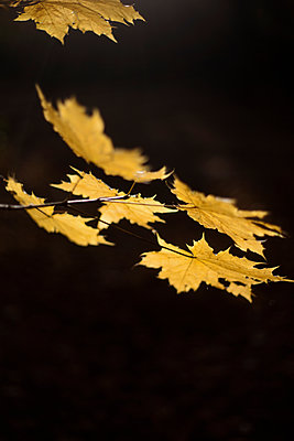 Norway maple leaves (Acer platanoides) - p1028m2030718 by Jean Marmeisse
