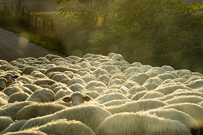 Italy, Tuscany, flock of sheep on a road - p300m978613f by Mandy Reschke