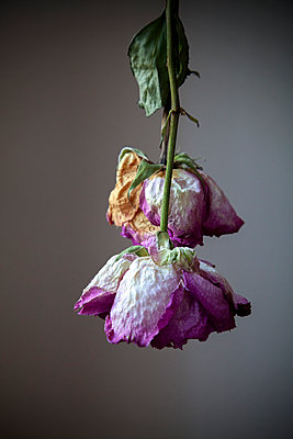 Dried Rose Stems Suspended Upside Down  - p1248m2063457 by miguel sobreira