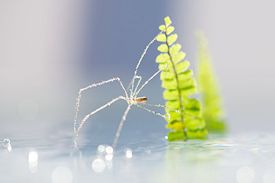 Translucent spider covered in dew drops - p624m1045702f by Odilon Dimier