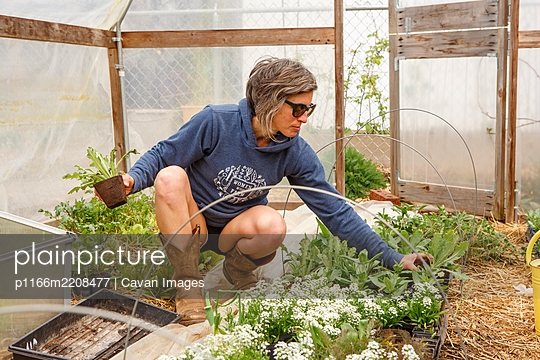 A woman tends to young plants in a greenhouse in springtime - p1166m2208477 by Cavan Images