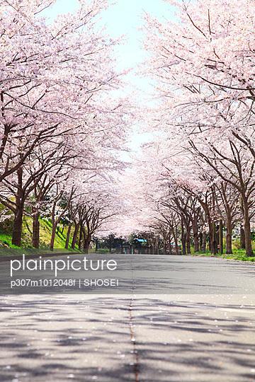 Cherry blossoms - p307m1012048f by SHOSEI
