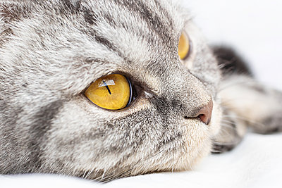 A gray scottish fold cat sits on a bed in a sheet. - p1166m2171728 by Cavan Images