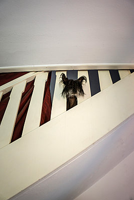 Dog on the stairs - p403m1051683 by Helge Sauber