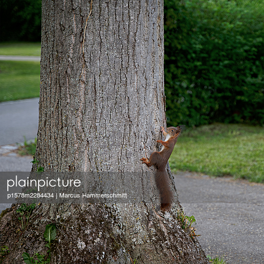 Eichhörnchen an einem Baum - p1578m2284434 von Marcus Hammerschmitt
