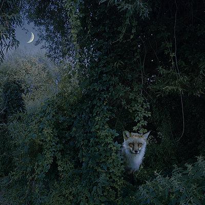 Fuchsnacht V - p1633m2291329 von Bernd Webler