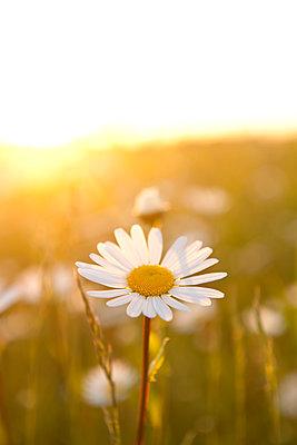 Margeritenblüten im Sonnenuntergang - p533m1474765 von Böhm Monika