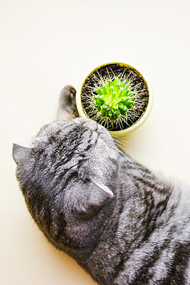 Funny gray scottish fold cat and cactus - p1166m2171715 by Cavan Images
