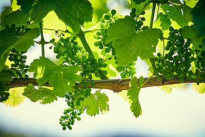 Vine with green grapes - p1312m1333152 by Axel Killian
