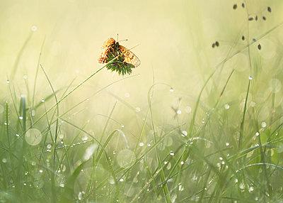 Butterfly on blade of grass - p300m2005666 von Brigitte Stehle