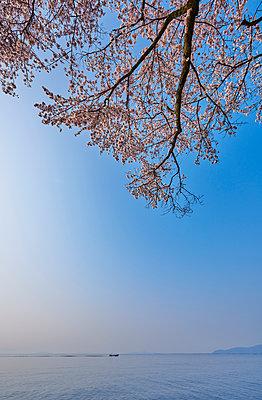 Cherry blossoms in full bloom at Lake Biwa, Shiga Prefecture, Japan - p307m1495898 by MATSUO.K