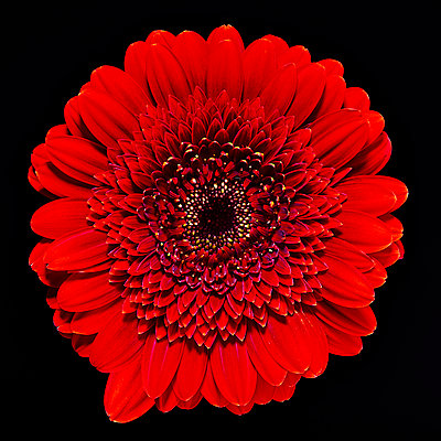 Red Gerbera - p587m2115429 by Spitta + Hellwig