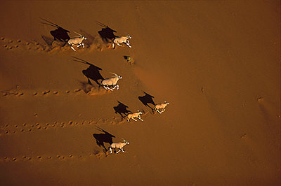 Oryx running-Naukluft National Park - p8844653 by Richard Du Toit